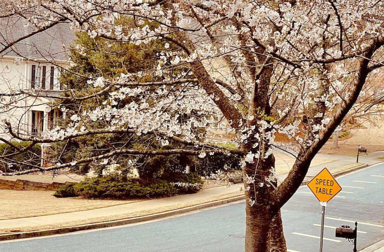 Cherry Blossom Tree in Sara Garg's front yard.
